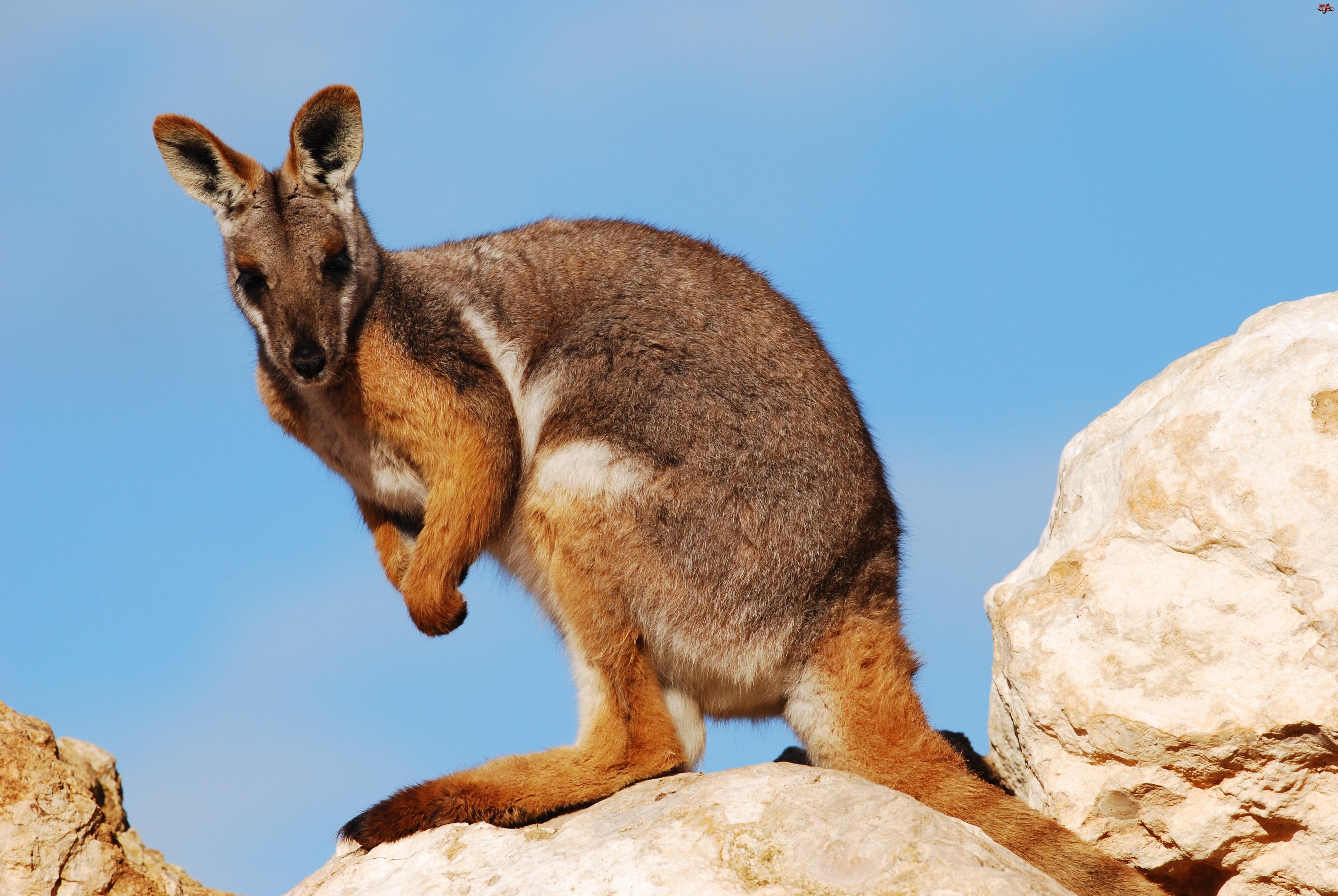 Kangur, Kamienie