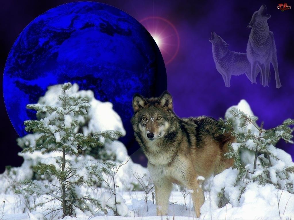Wilk, Księżyc, Sosny, Śnieg