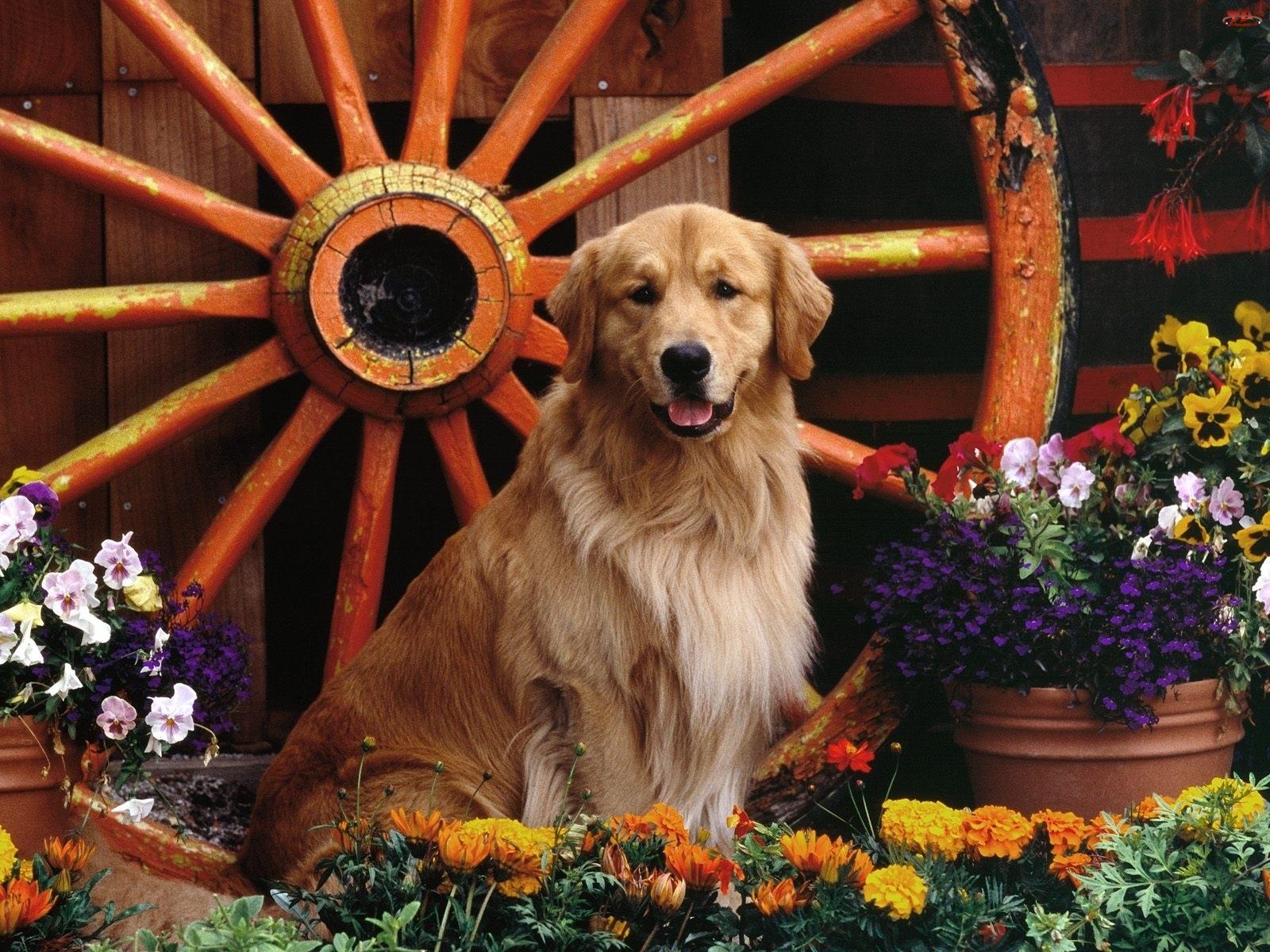 Pies, Golden Retriever, Koło, Kwiaty