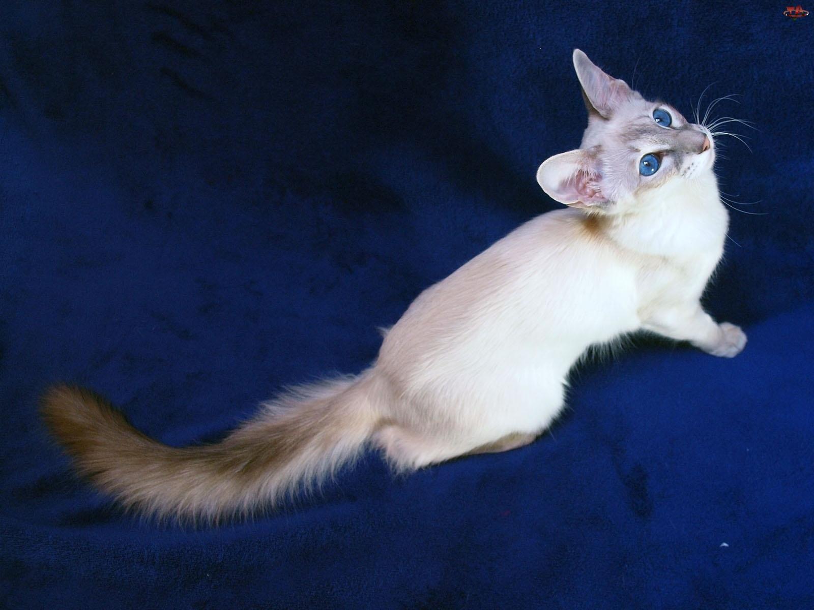 Kot, Tło, Balijski, Niebieskie