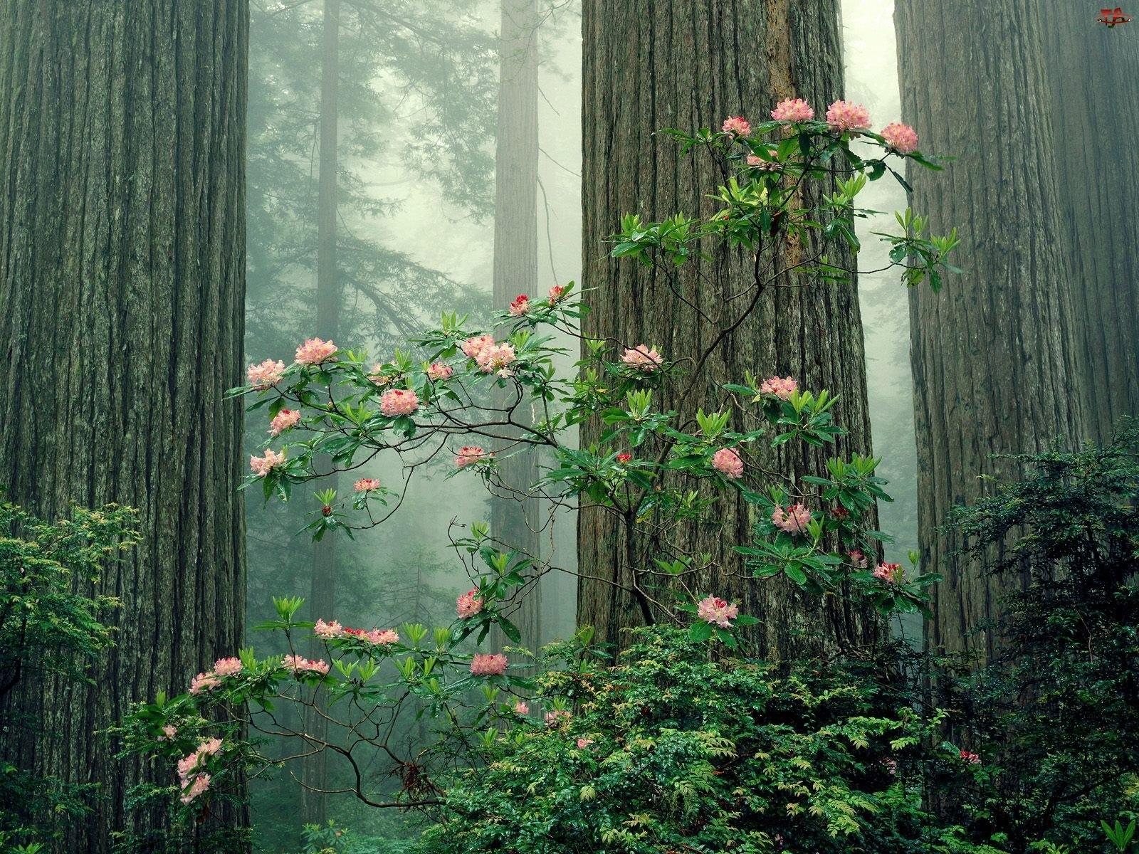 Drzew, Azalia, Pnie