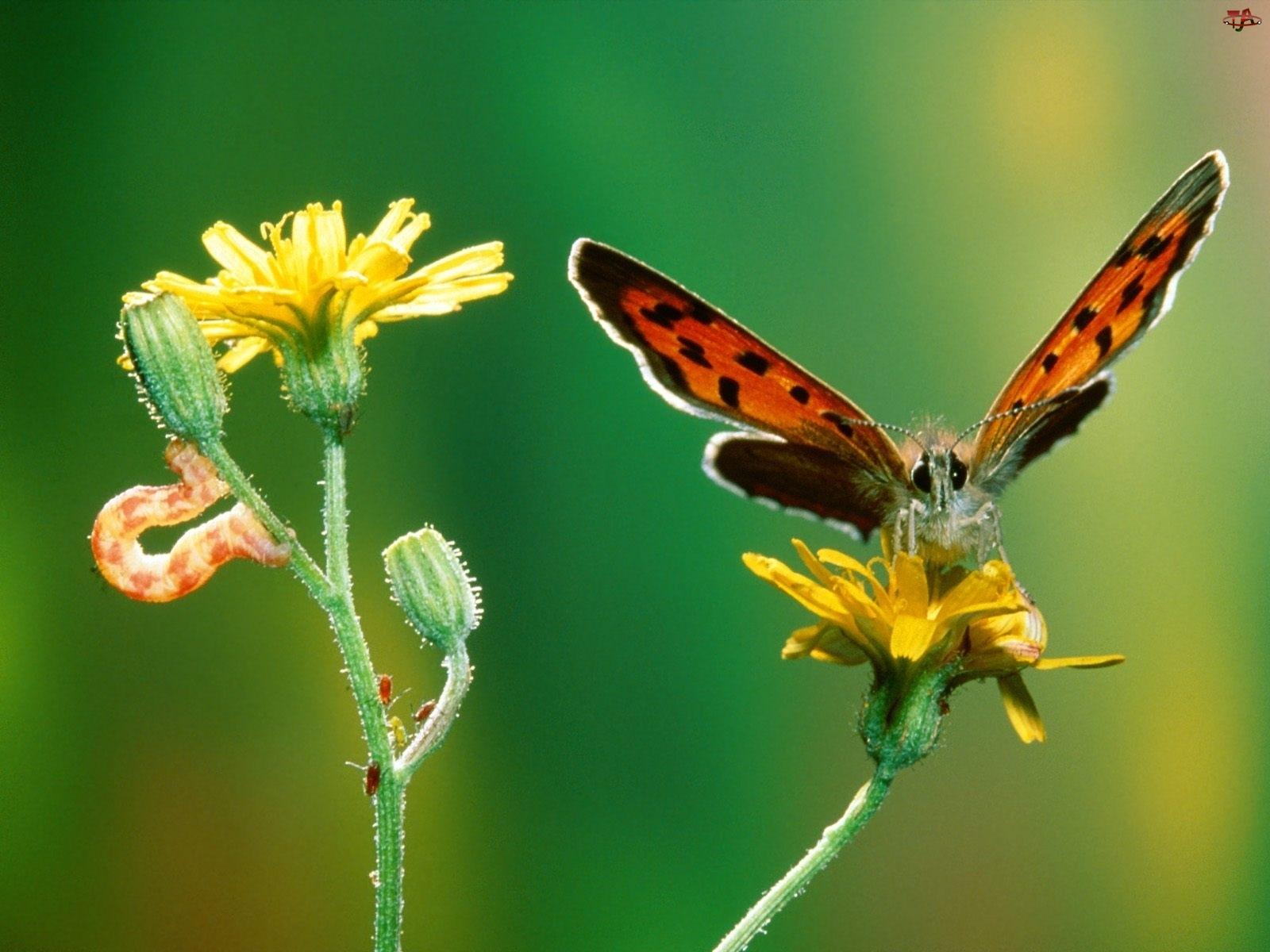 gąsienica, Motyl, kwiat