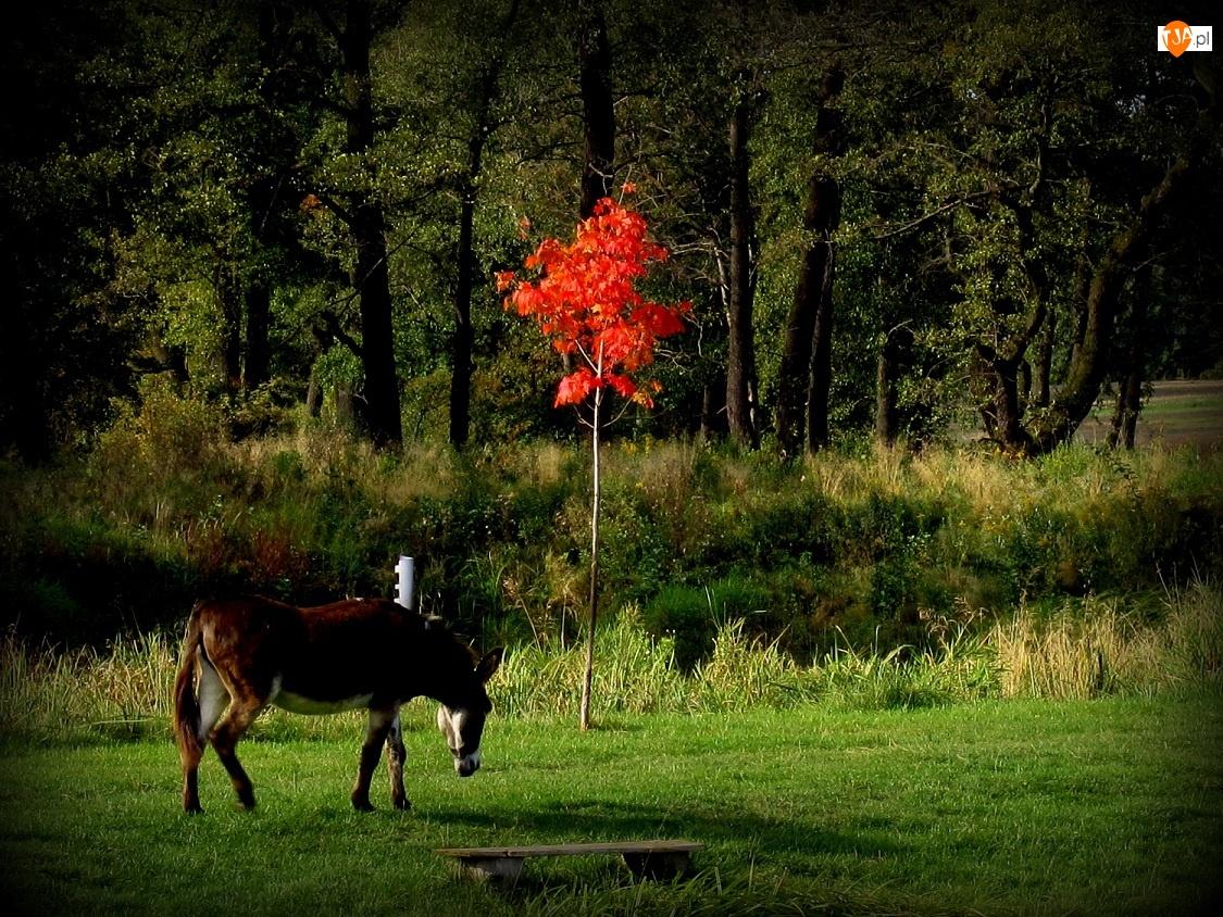 Osioł, Jesienne, Drzewo