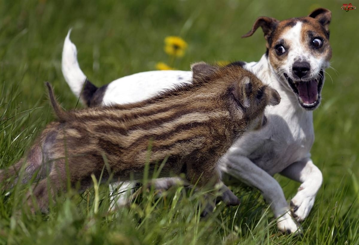 Mały, Pies, Dzik, Atak
