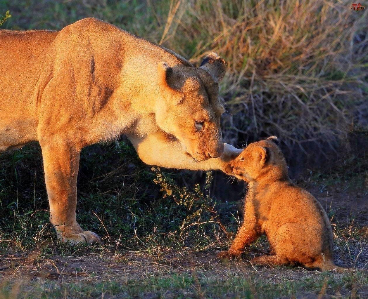 Lwica, Małe