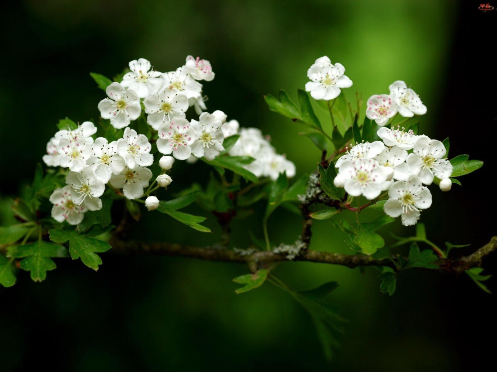 Głóg, Krzew, Białe, Drobne, Kwiatki