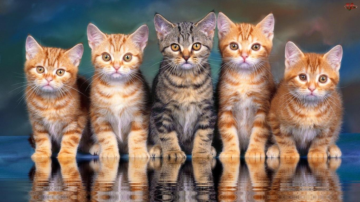 Odbicie, Kotki, Szary, Rude, Kot