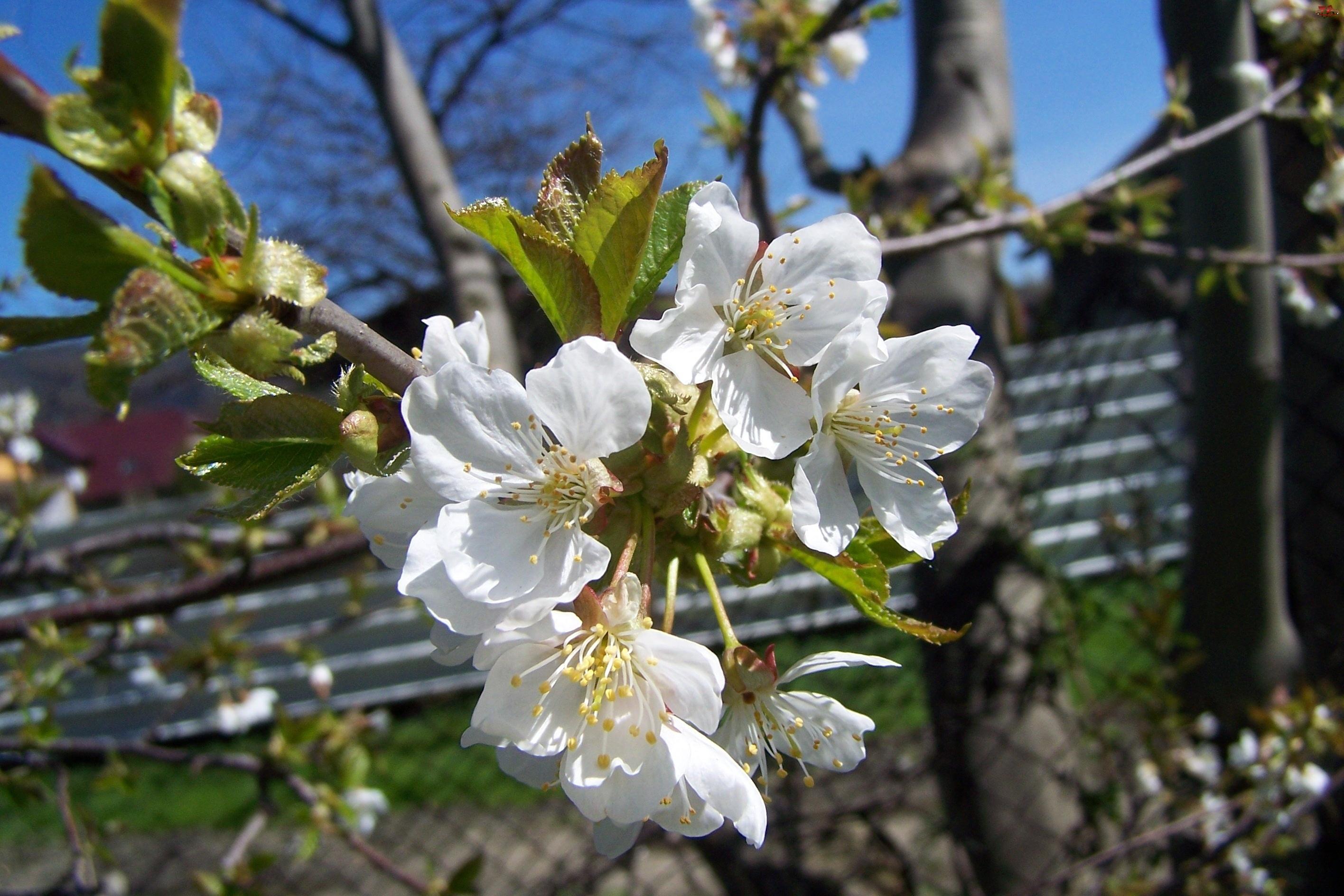 Wiosna, Kwiaty, Wiśni