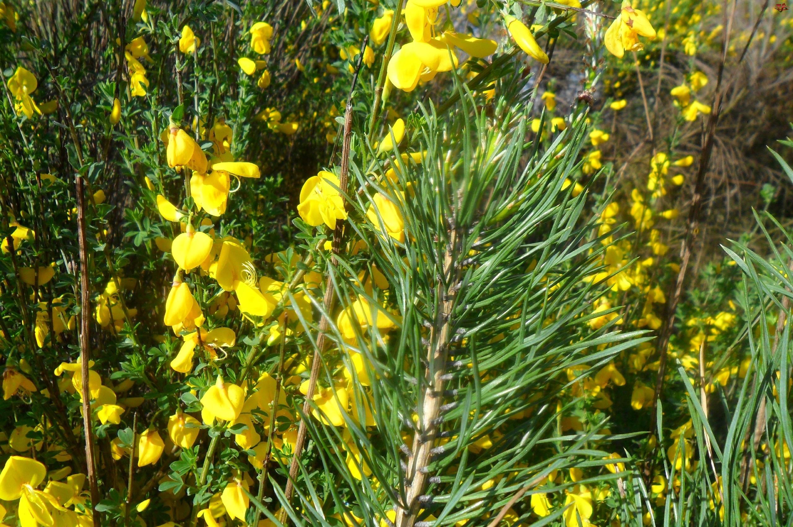 Gałązka, Kwiaty, Sosny, Żółte