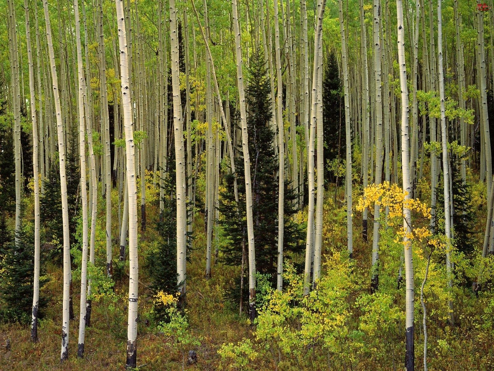 Las, Pnie, Wysokie, Drzewa