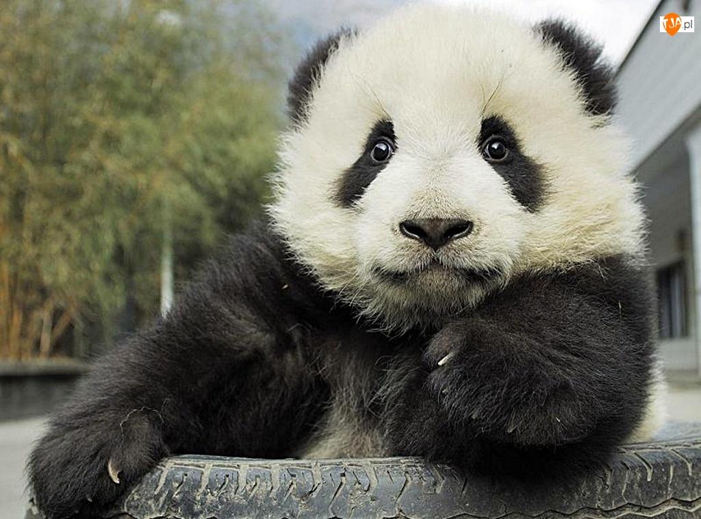 Panda, Opona