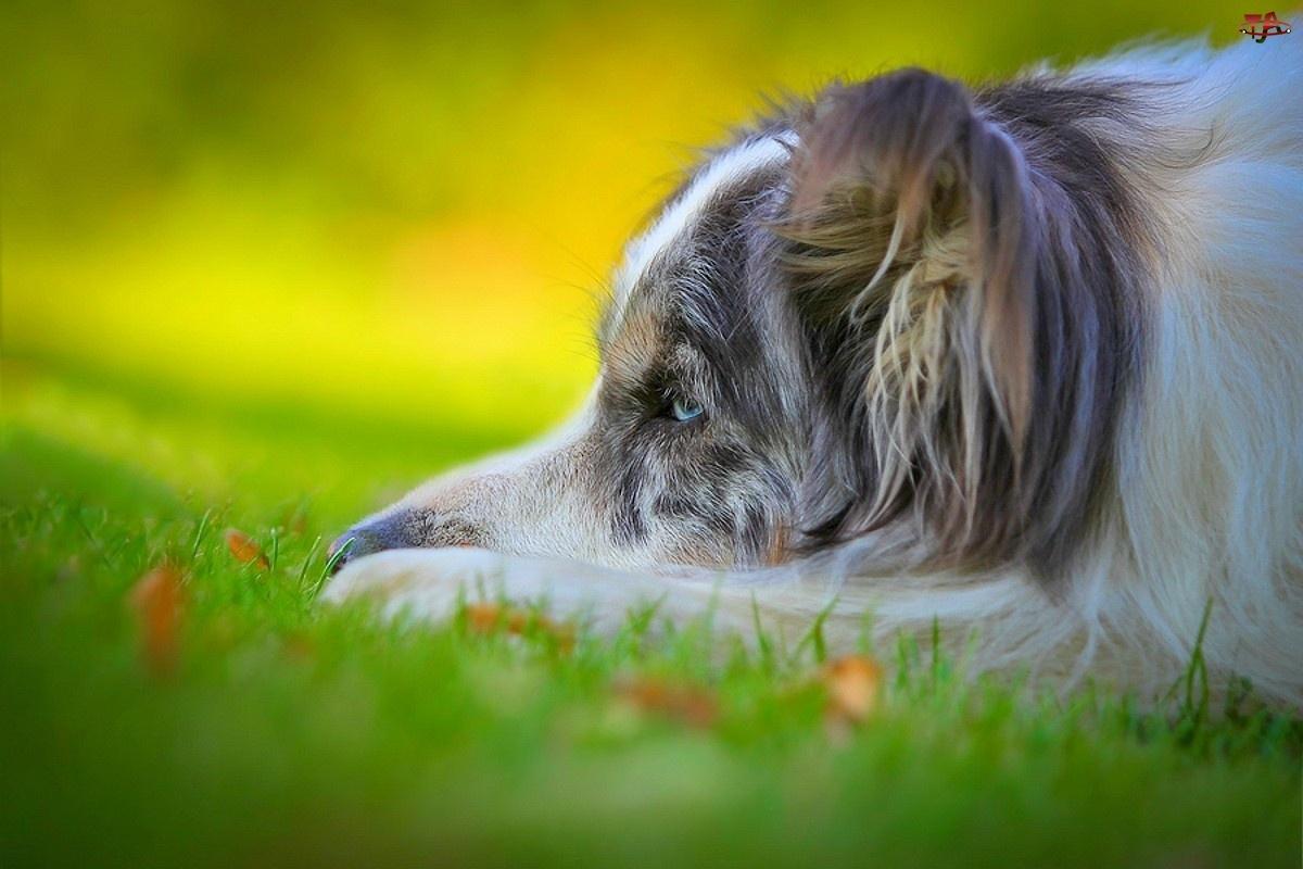 Pies, Owczarek australijski, Trawa, Tęsknota