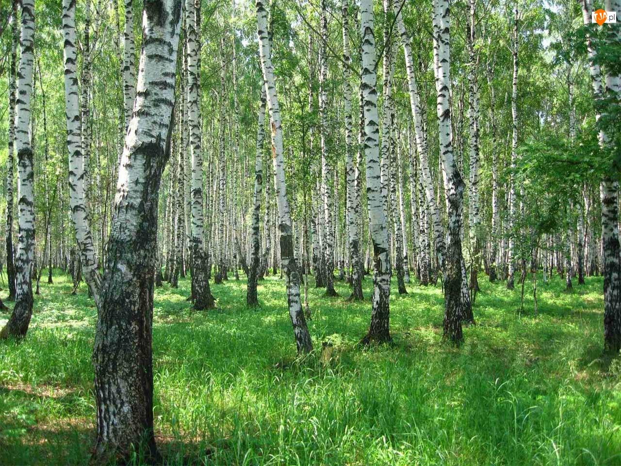 Las, Brzozowy