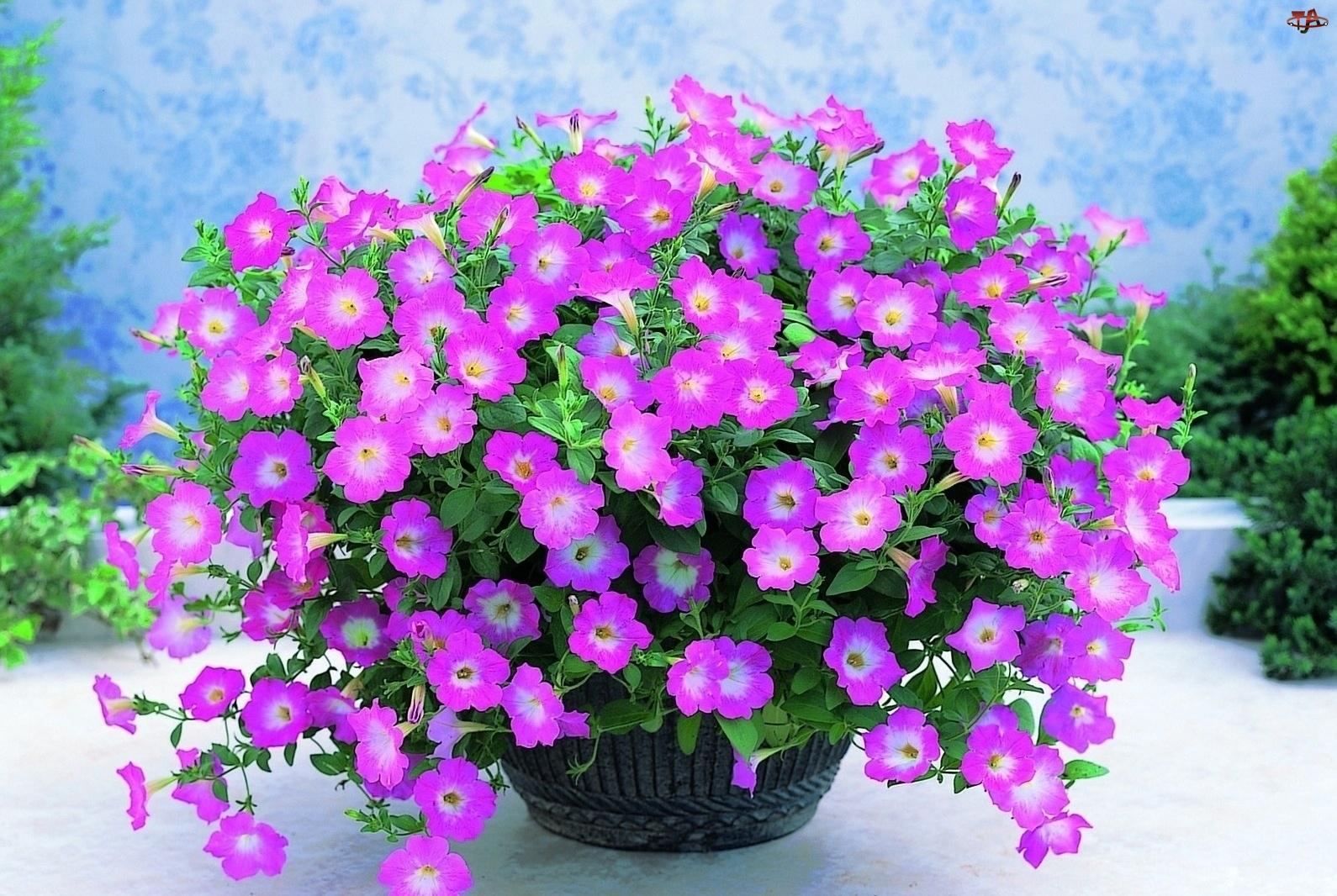 Kwiaty, Doniczka, Werbena, Ogrodowa