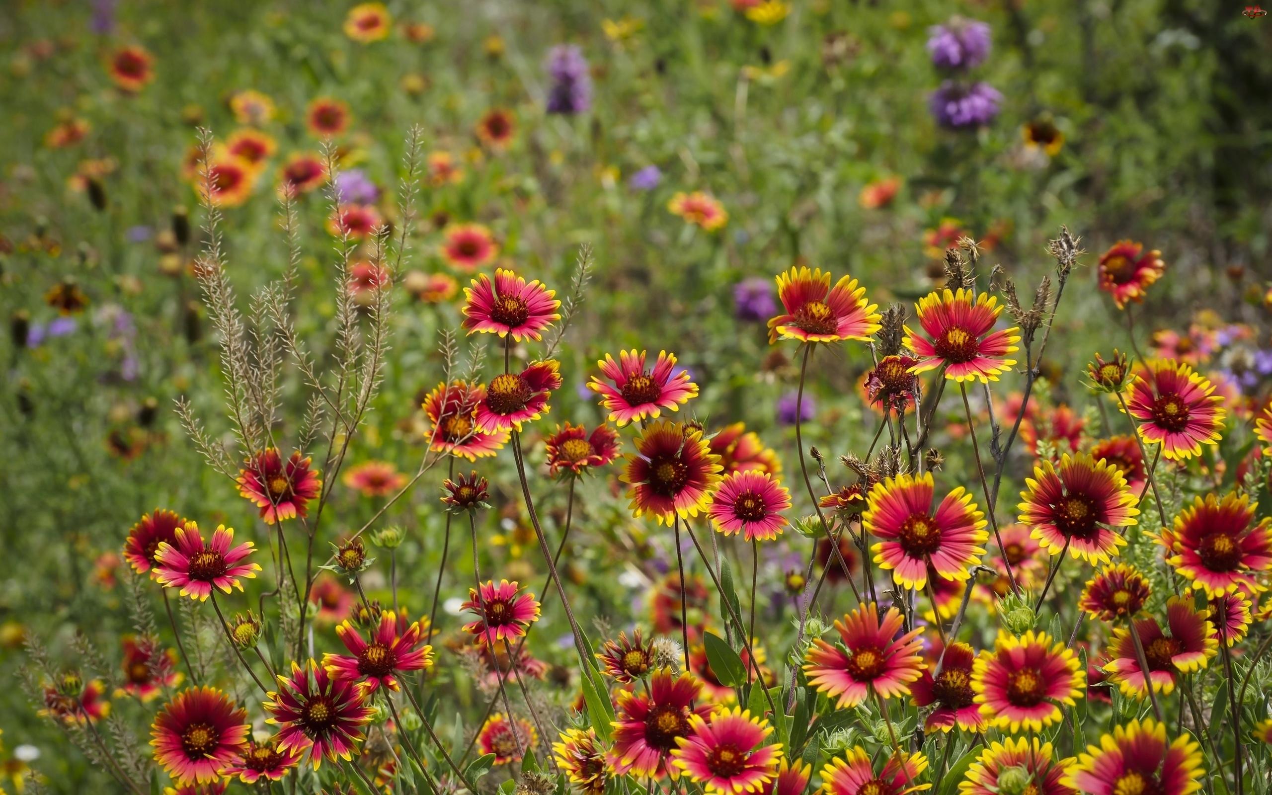 Łąka, Trawy, Kolorowe, Kwiaty