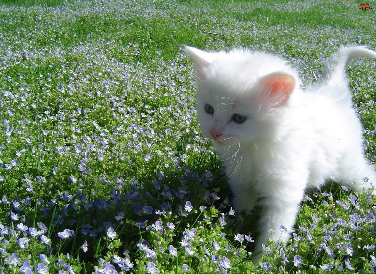 Kot turecka angora, Mały, Biały