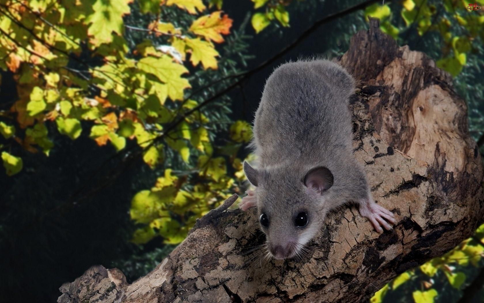 Myszka, Drzewo