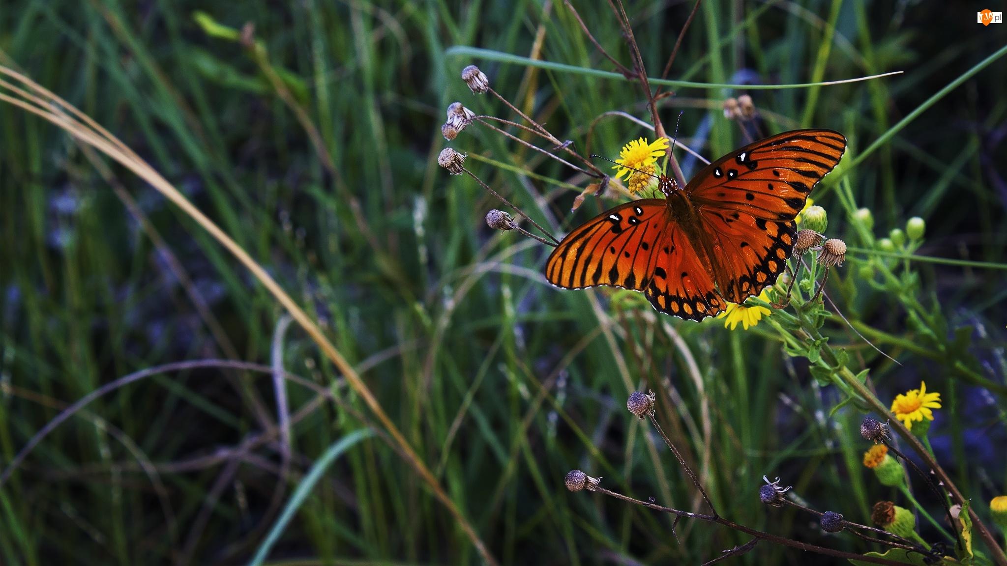 Łąka, Motyl, Mlecze, Kolorowy