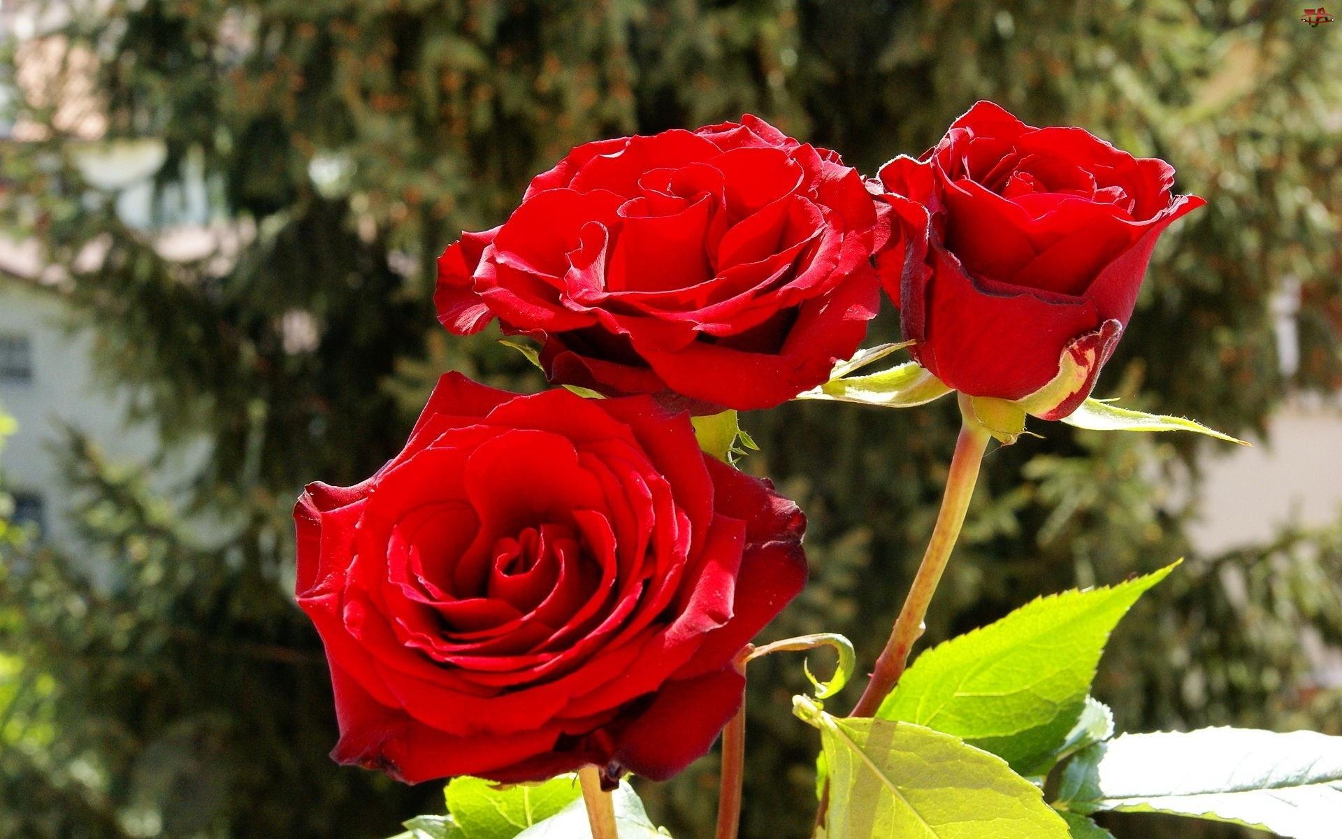 Ogród, Czerwone, Róże