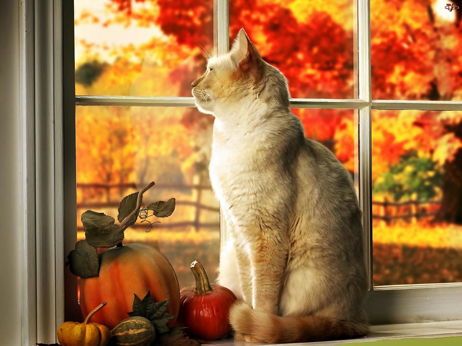 Ogród, Kot, Dynie, W Oknie, Jesienny