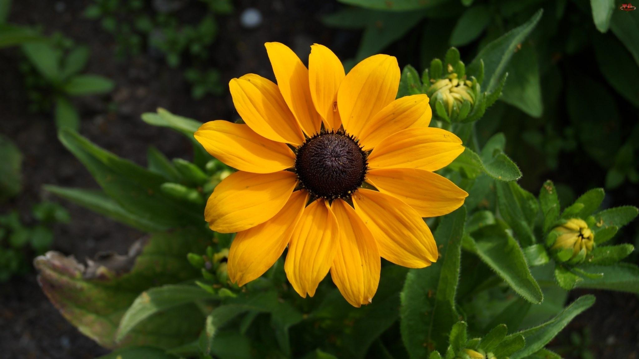 Pąki, Żółty, Kwiat
