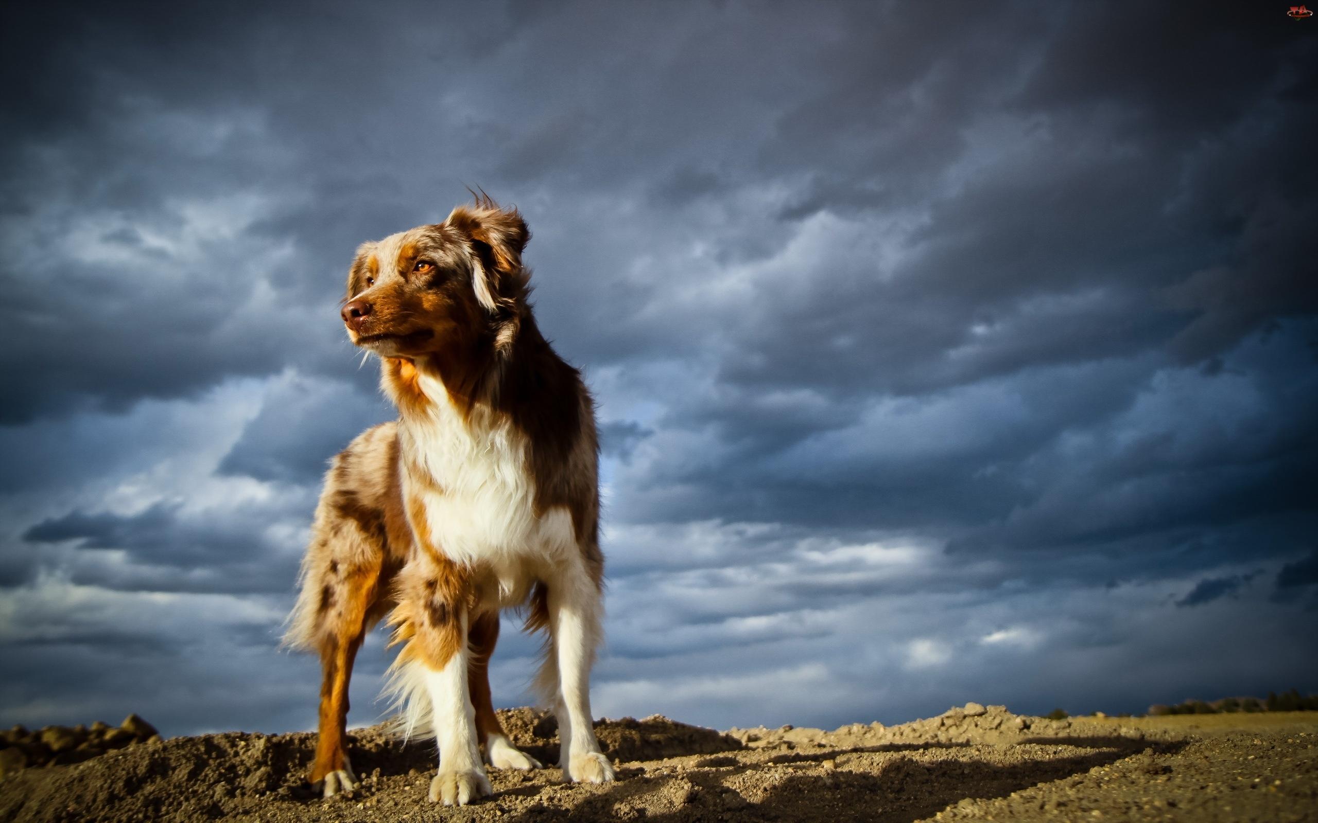 Owczarek australijski-australian shepherd