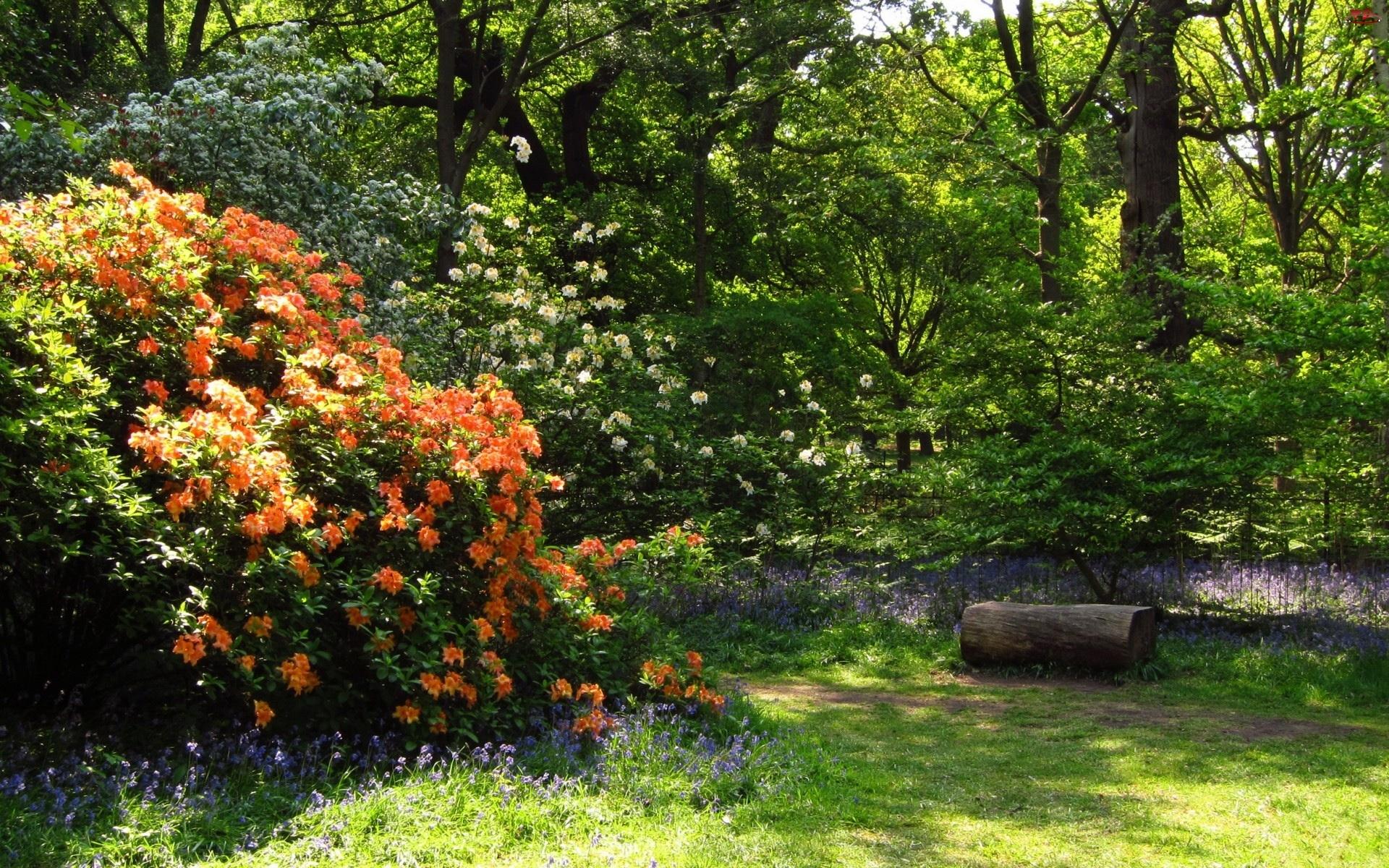 Krzewy, Ścieżka, Park, Rododendrony, Kwitnące, Kwiaty
