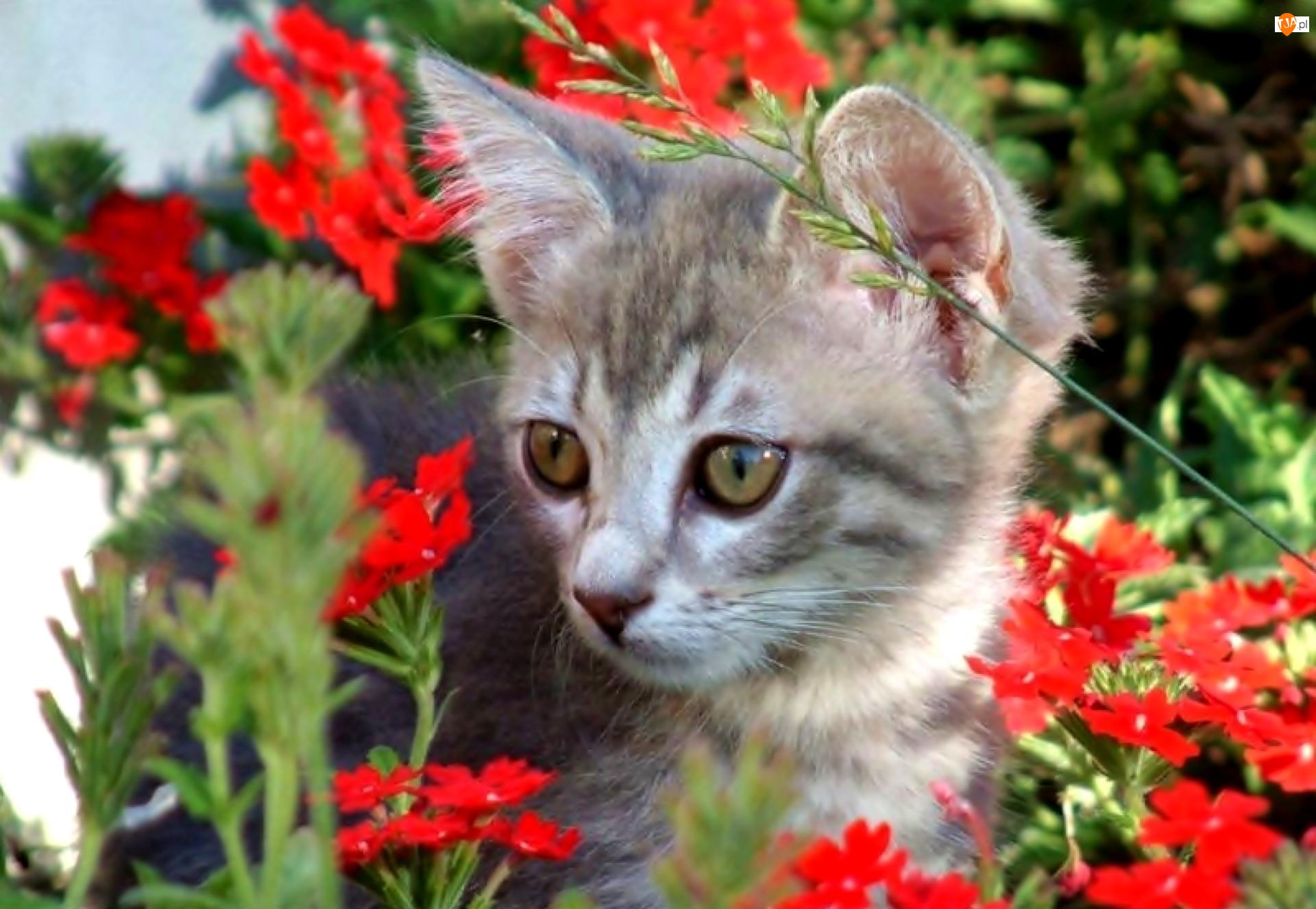 Kwiatki, Kotek, Czerwone