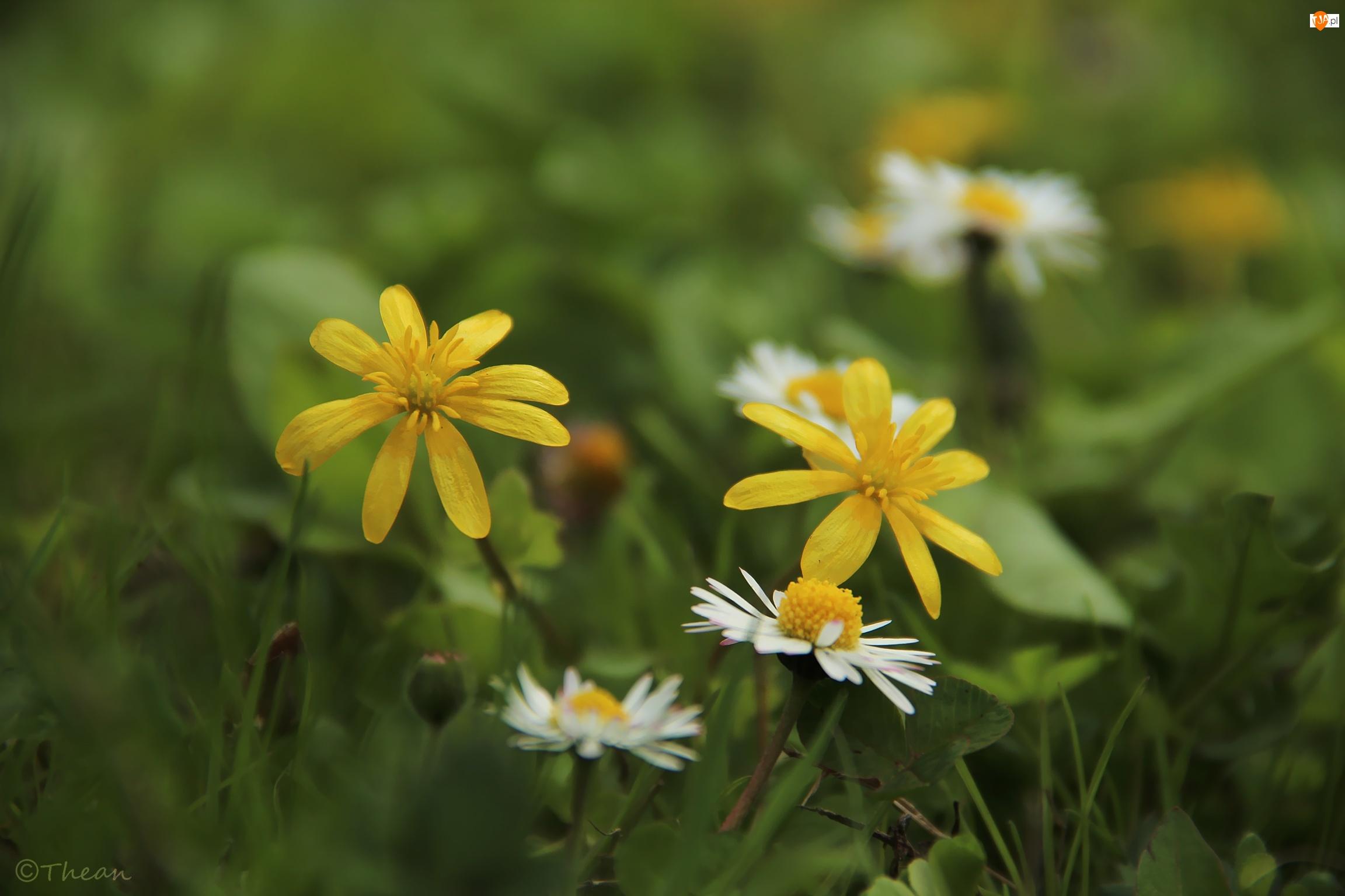 Kwiaty, Ziarnopłon Wiosenny, Stokrotki