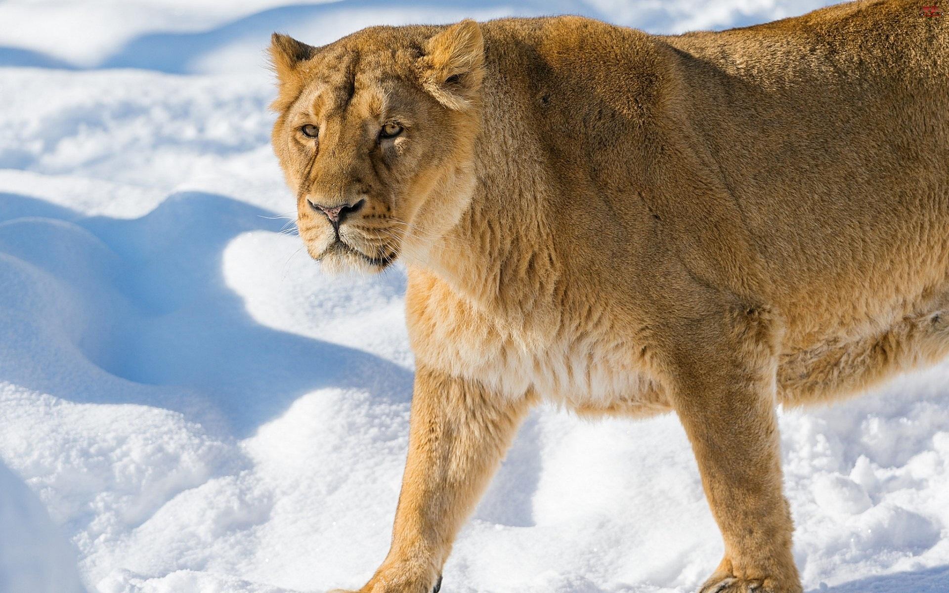 Lwica, Śnieg