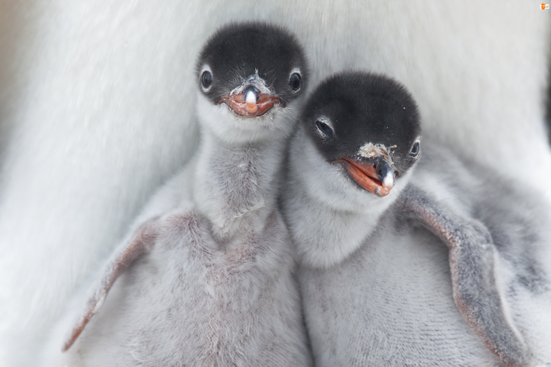 Małe, Pingwiny