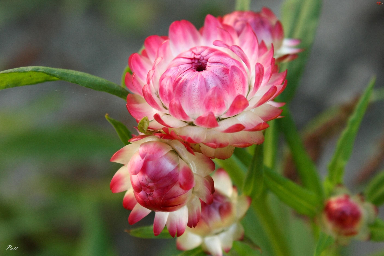 Kwiaty, Kocanka Ogrodowa, Różowe