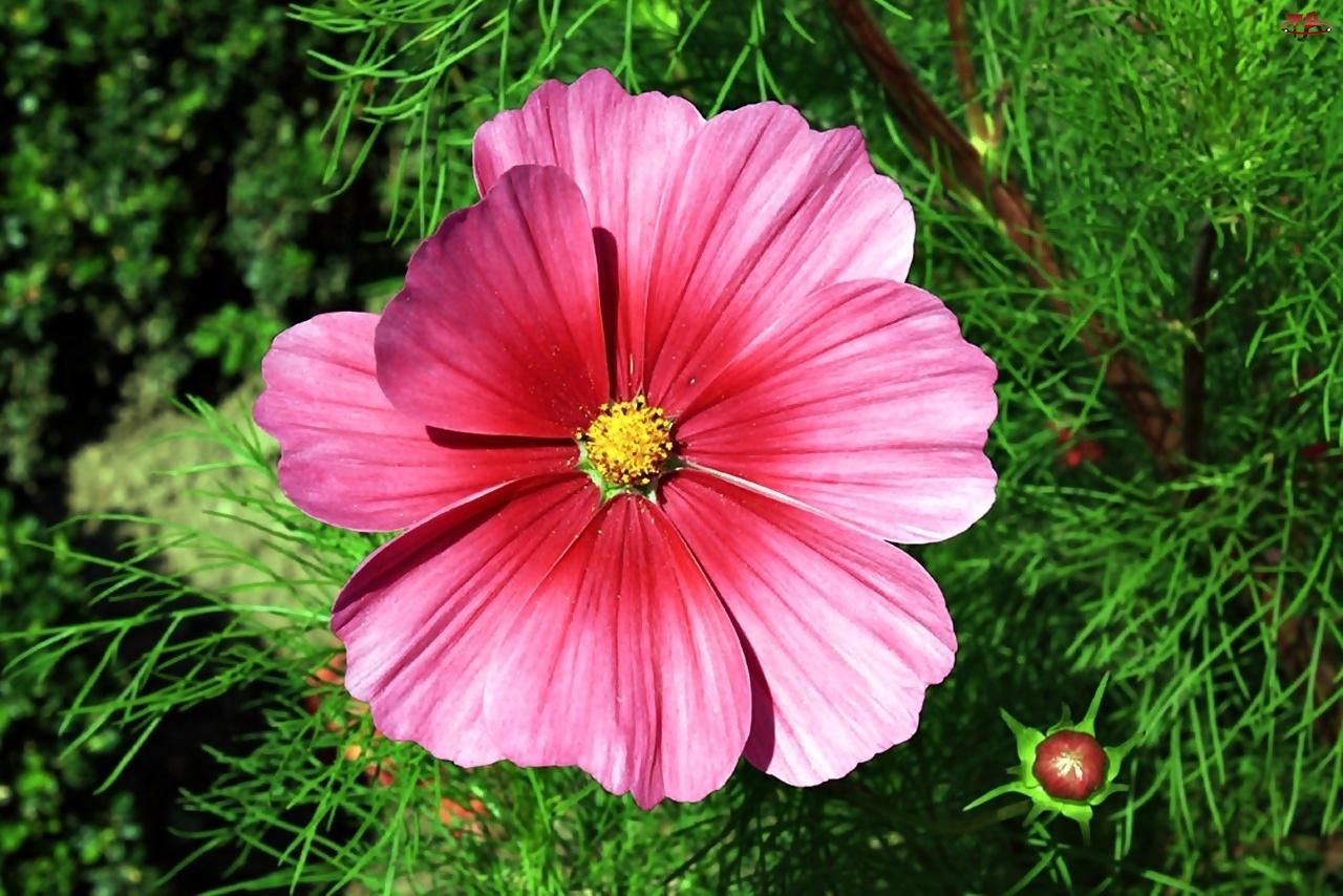 Różowa, Kosmea