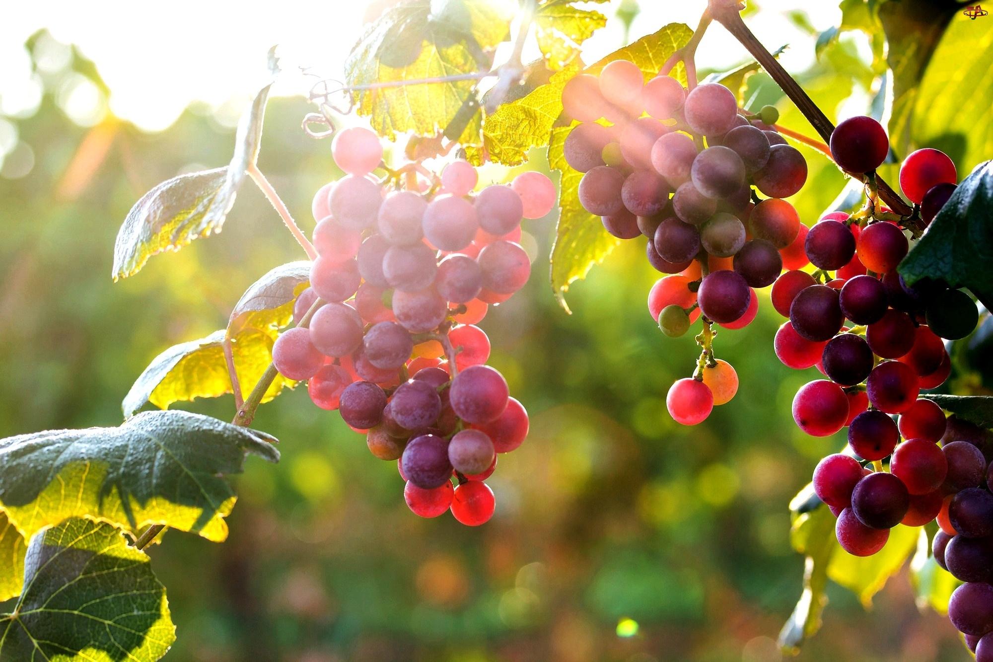 Słońca, Winogrona, Promienie