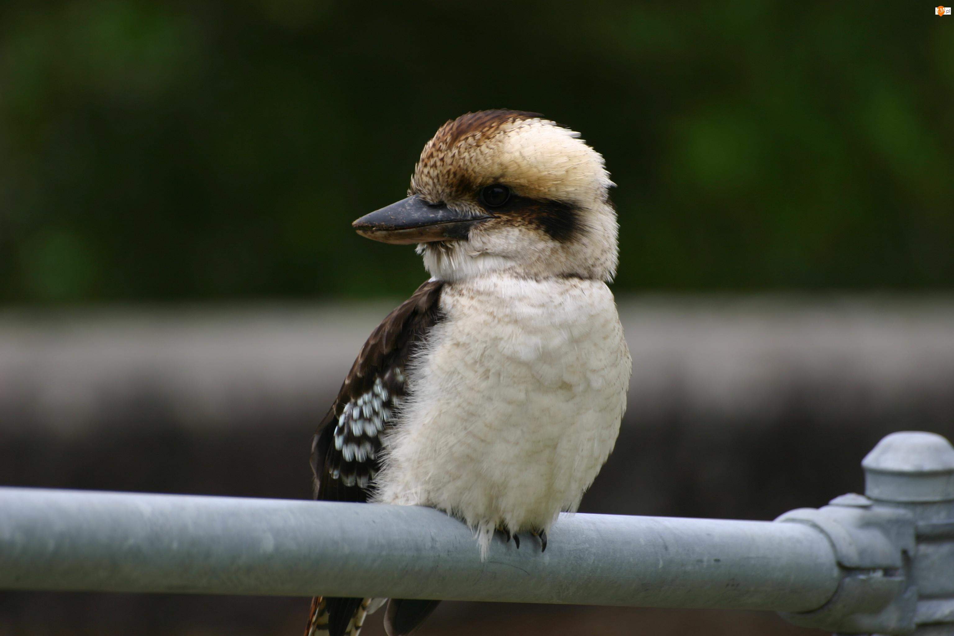 Ptak, Chichotliwa, Australijski, Kukabura