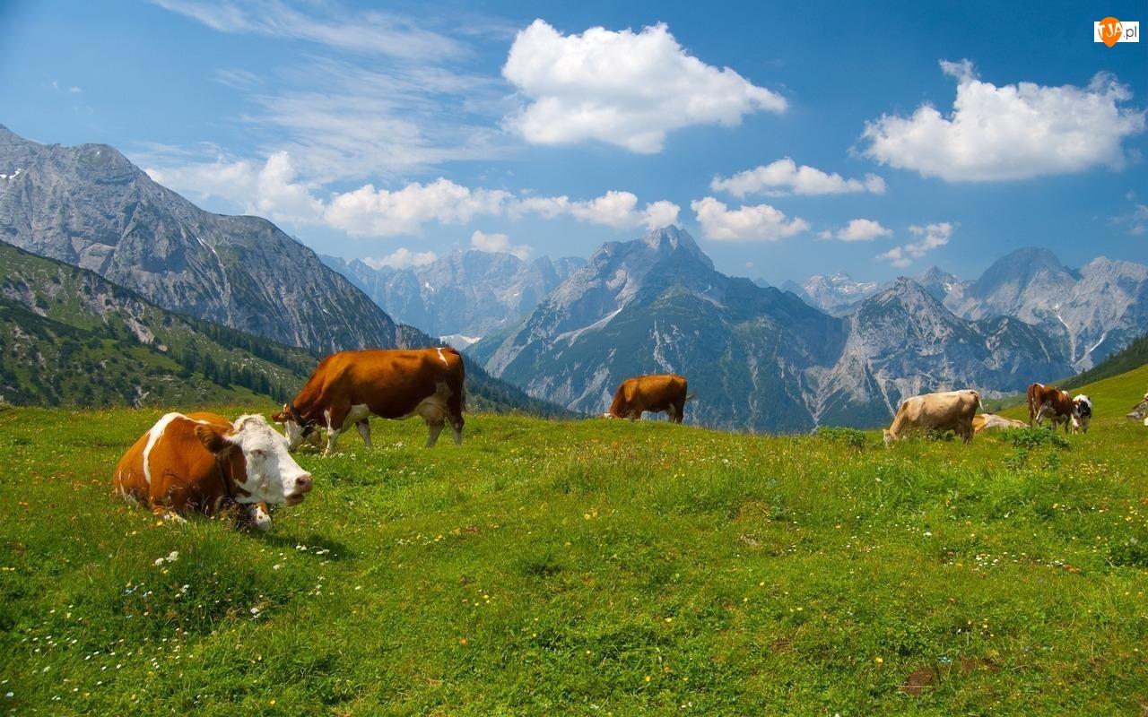 Góry, Krowy, Łąka