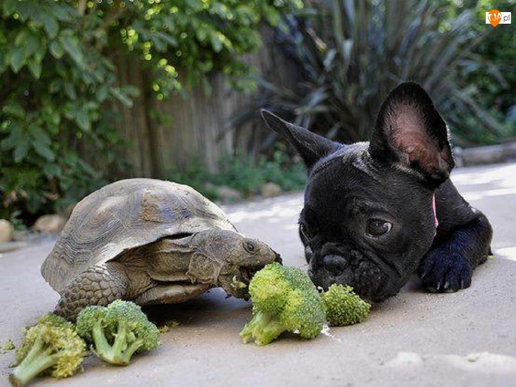 Żółw, Buldog francuski, Piesek, Brokuły