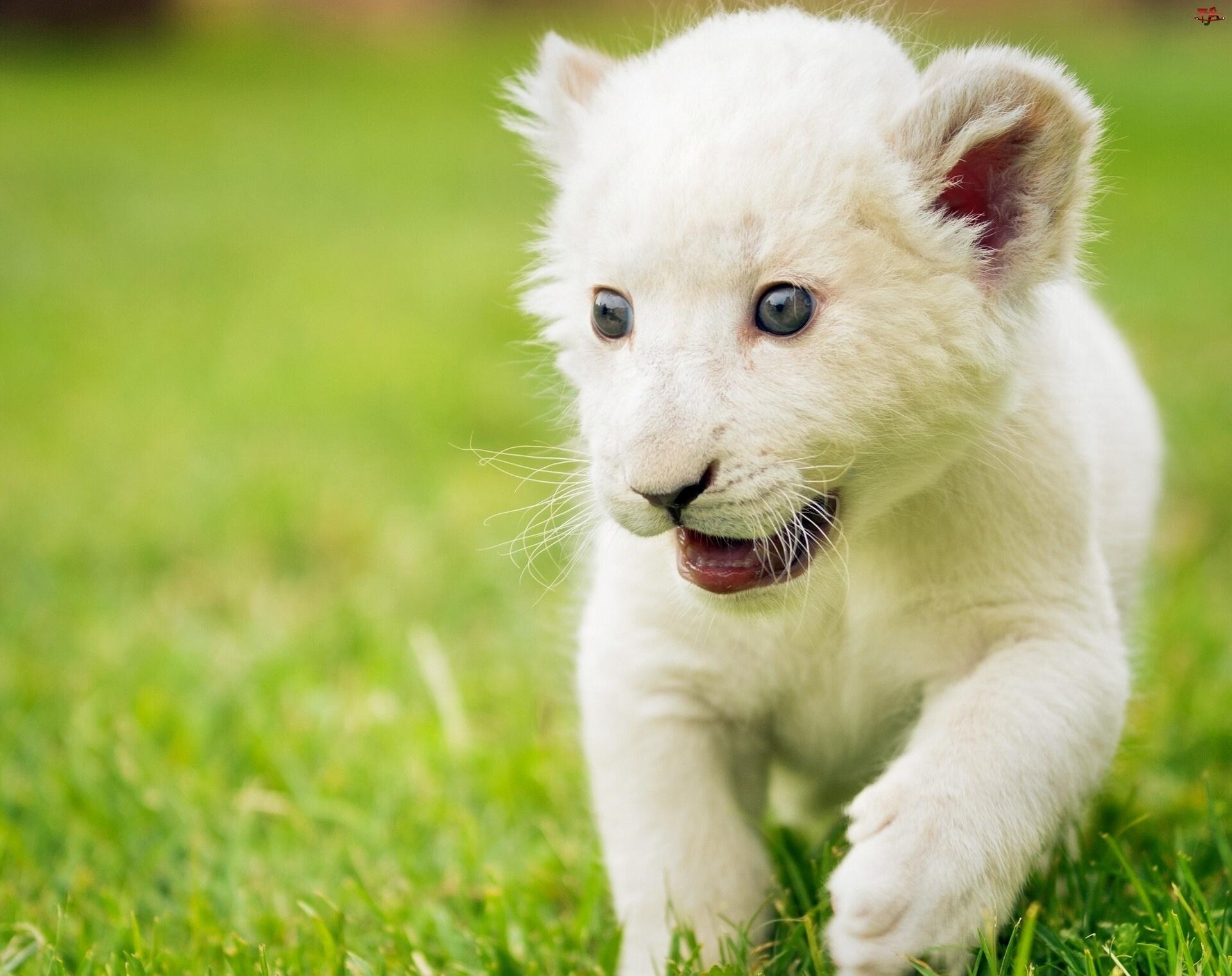 Lwiątko, Małe, Białe
