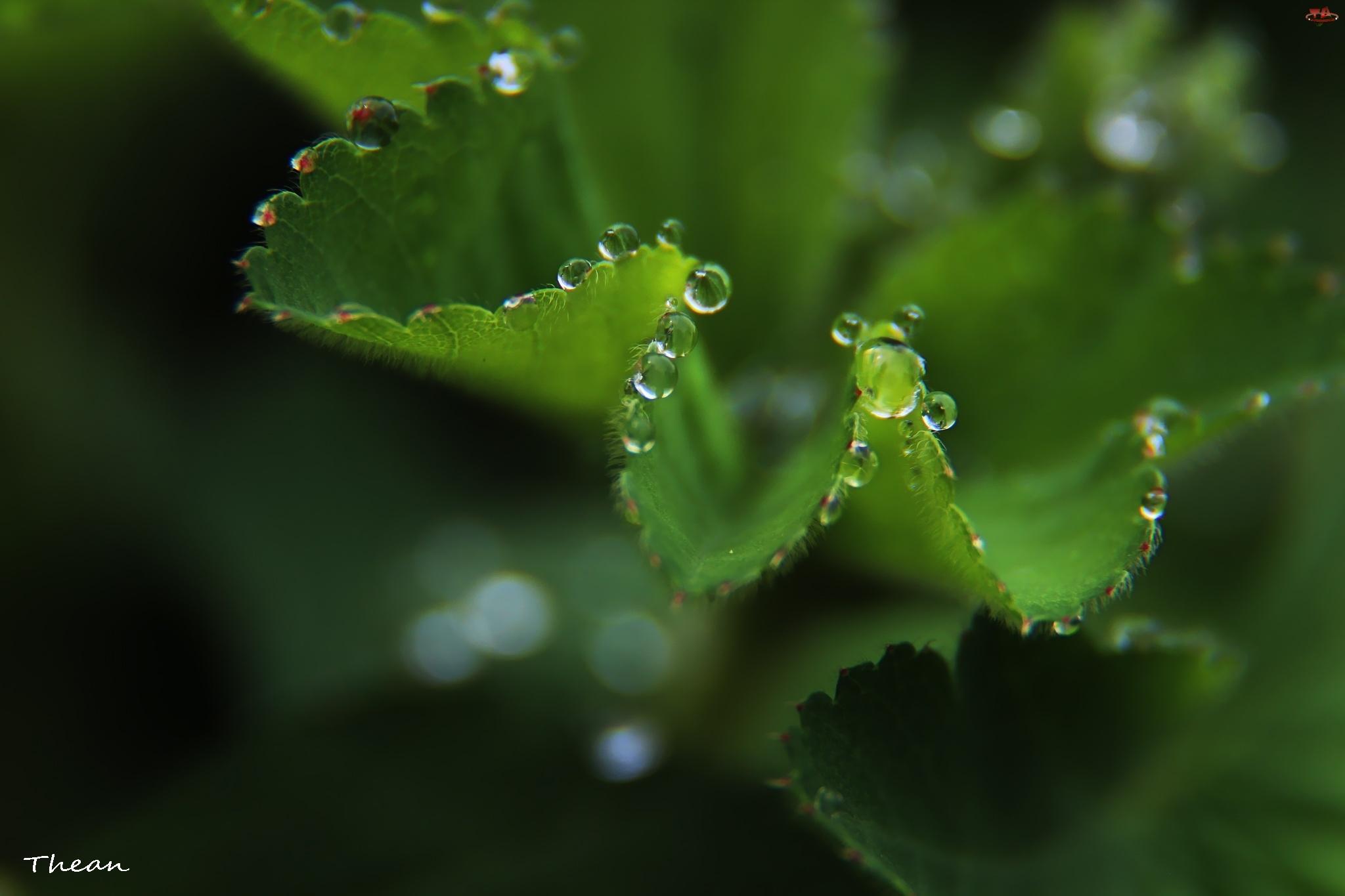 Deszczu, Liście, Krople