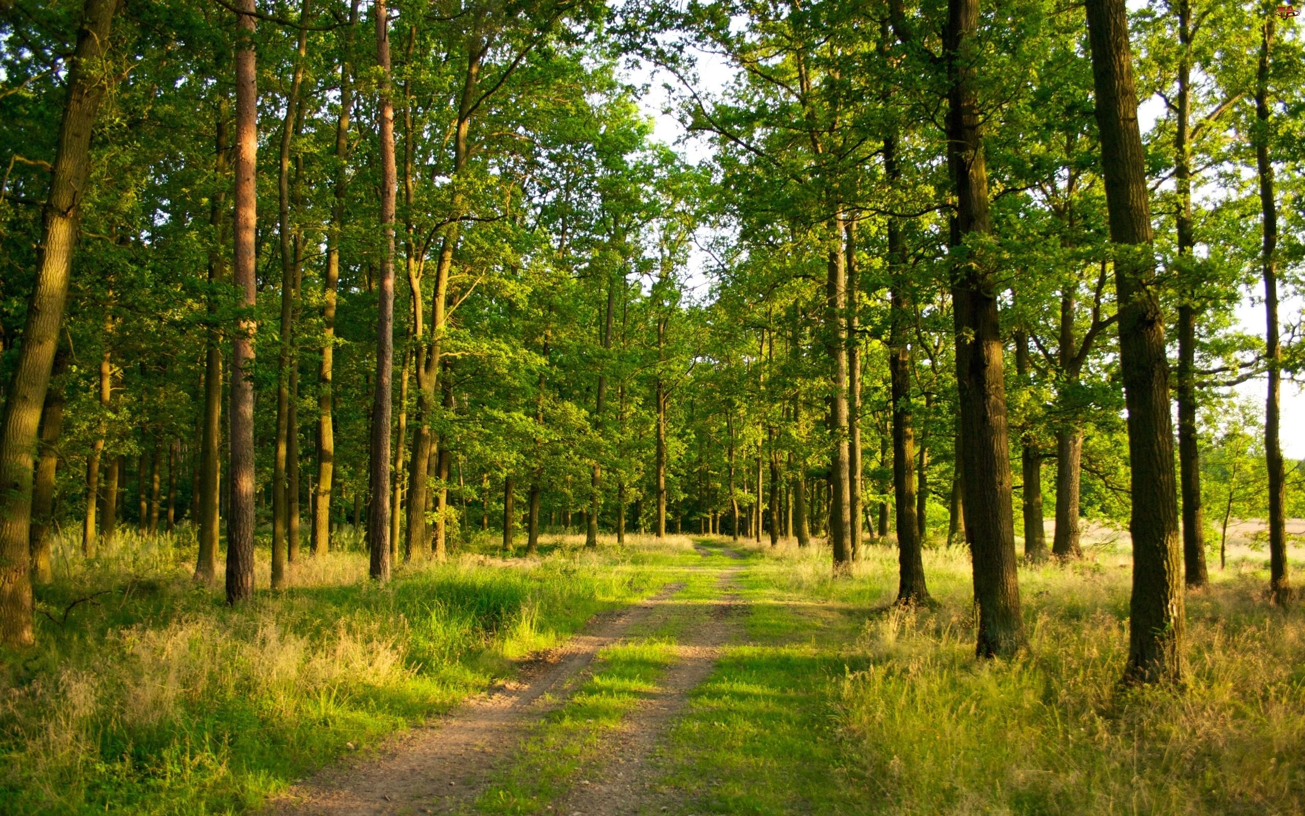 Las, Ścieżka, Drzewa, Trawa