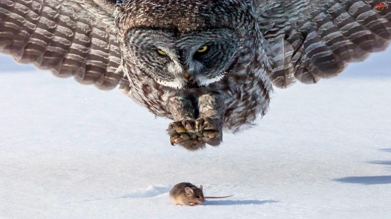 Myszka, Sowa, Polowanie