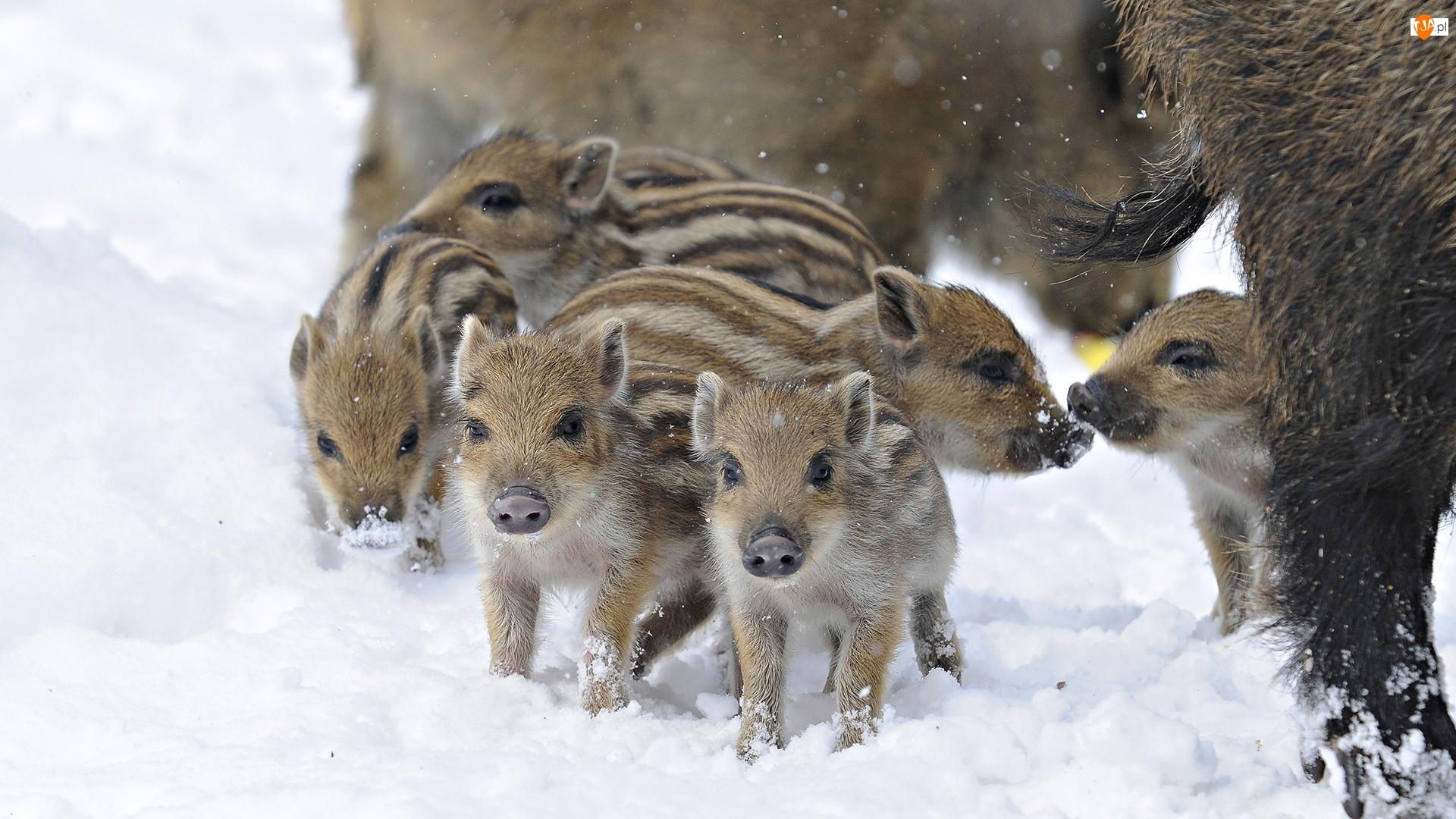 Zima, Małe, Dziki
