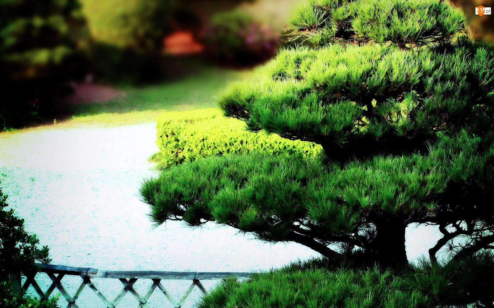 Bonsai, Park, Drzewko
