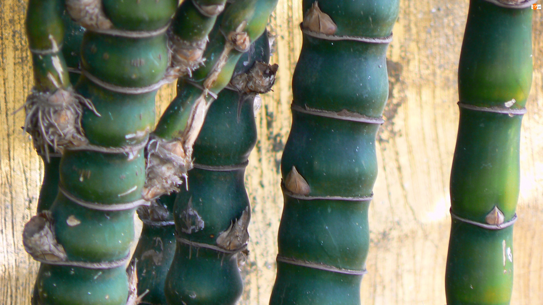Bambusa, Zielone, Łodygi