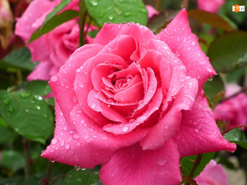 Róża, Kwiaty, Różowa