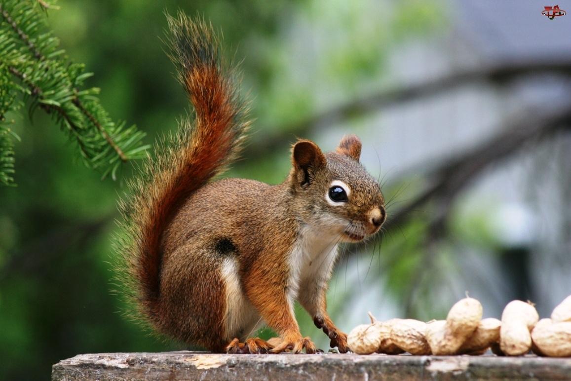 Wiewiórka, Orzeszki