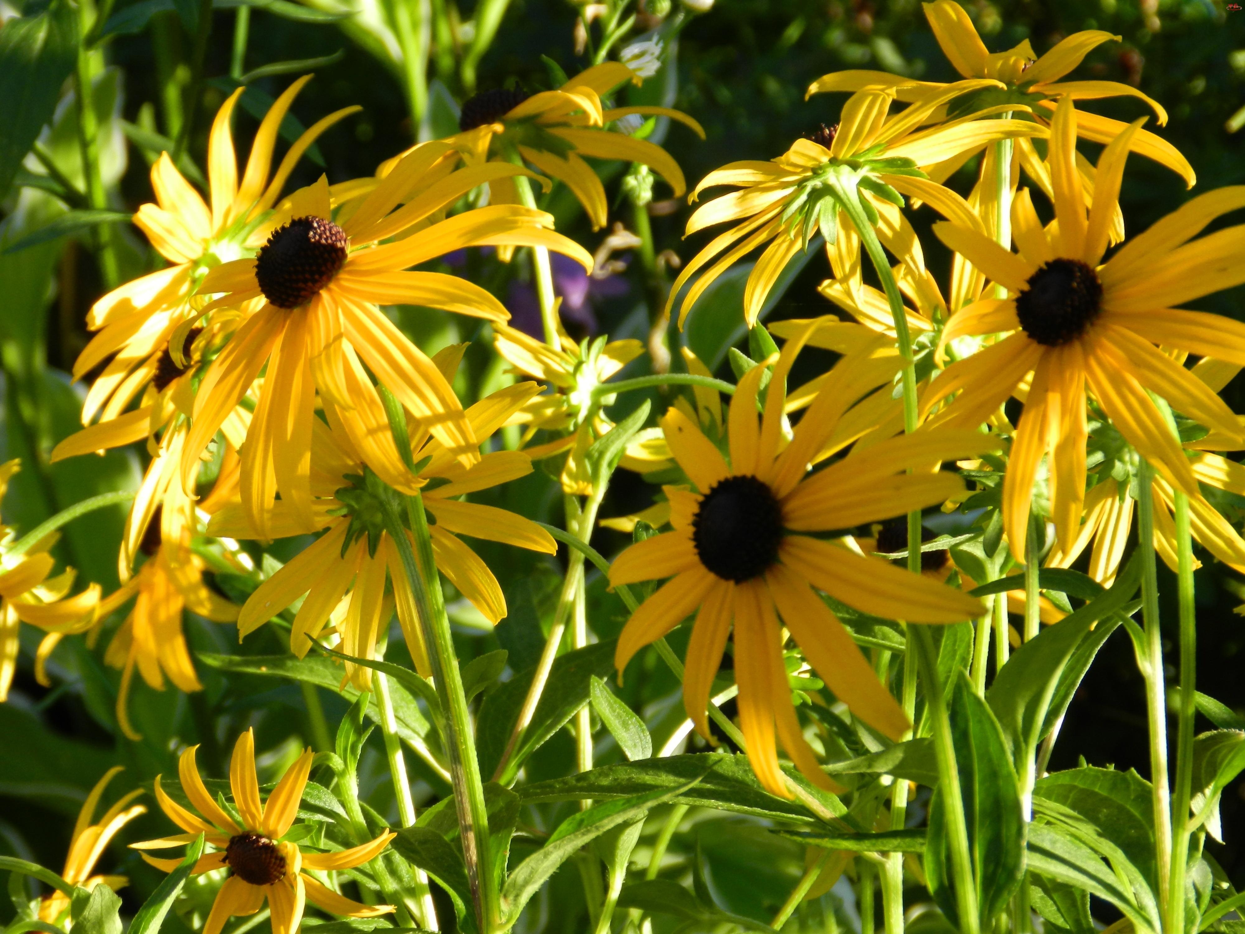 Żółte, Brązowe, Rudbekia, Środki, Błyskotliwa, Kwiaty