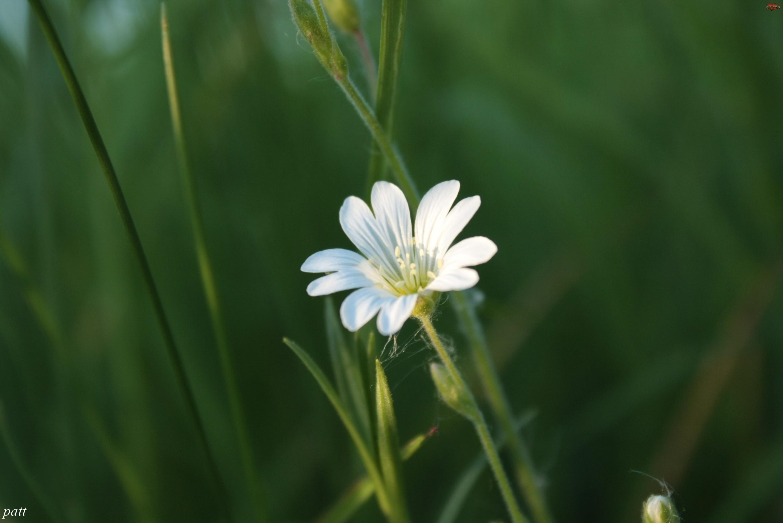 Mały, Rogownica Polna, Biały, Kwiatek