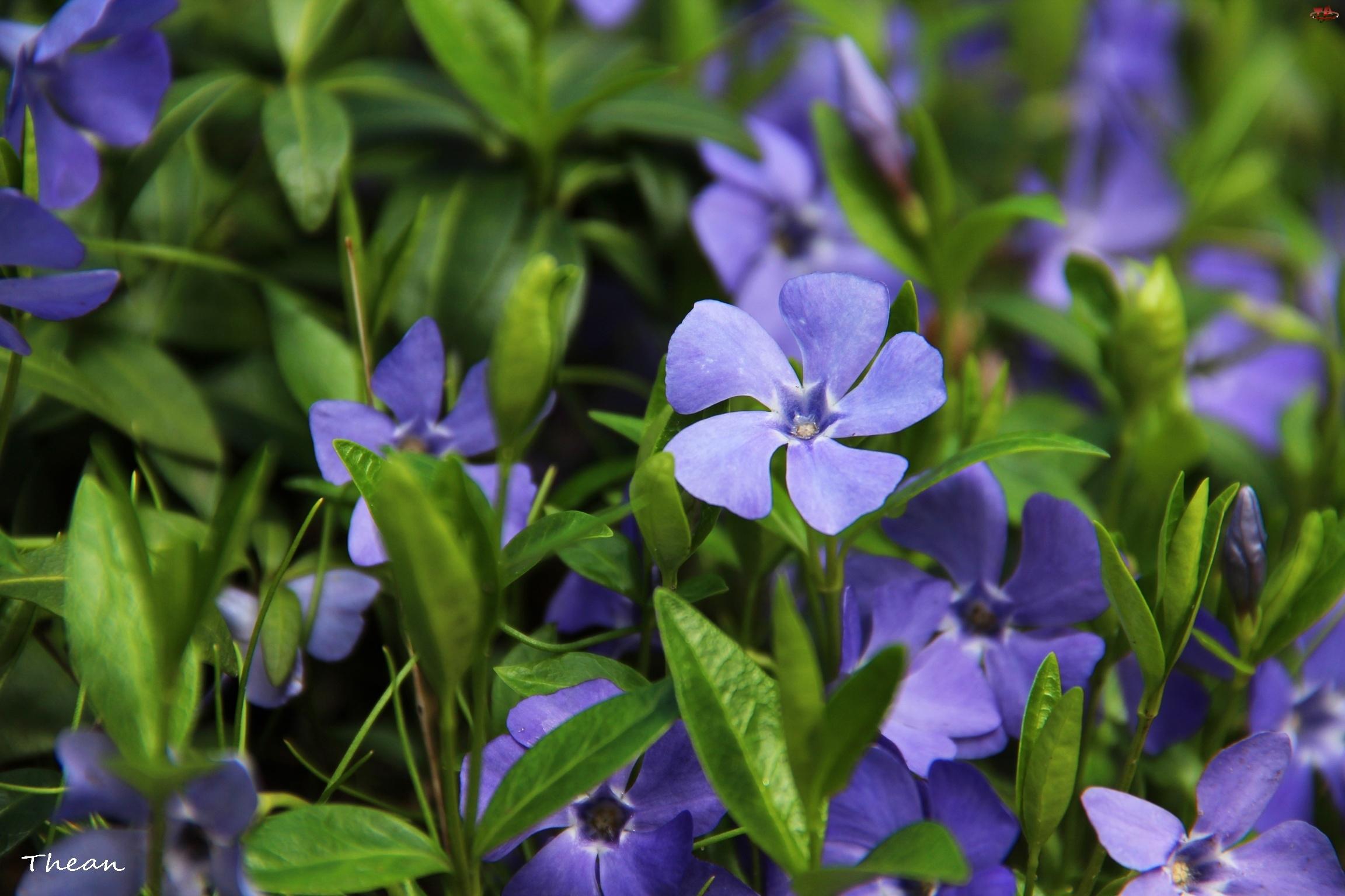 Kwiaty, Barwinek, Niebieskie