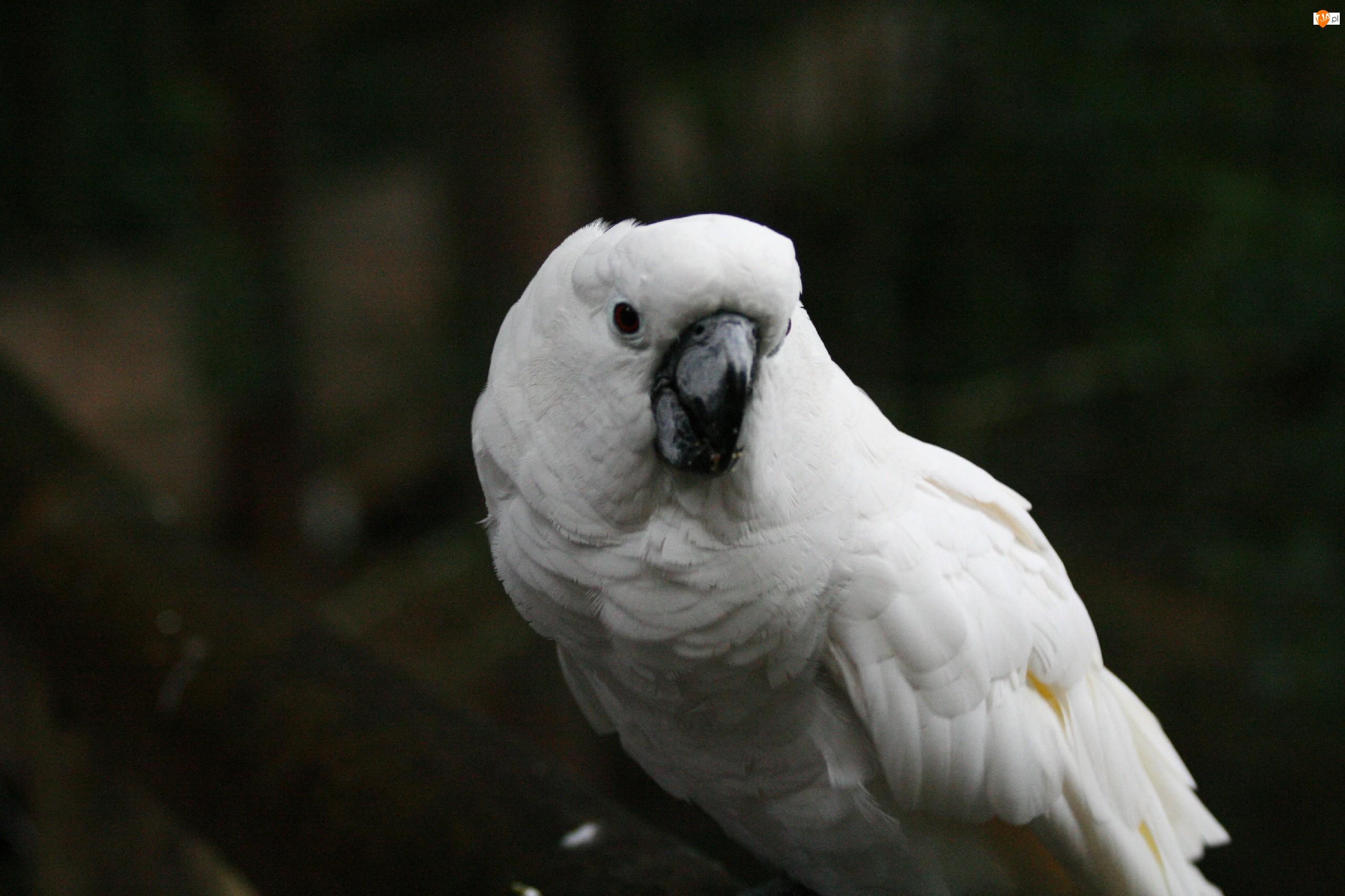 Kakadu, Biała, Papuga